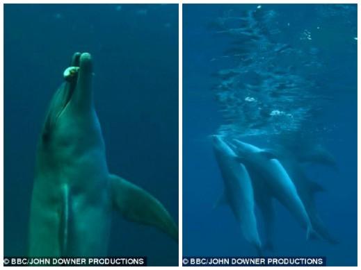 Trance Tóxico: Las imágenes, capturadas de los delfines de la serie de TV: Spy en el Pod, muestra a los delfines poner deliberadamente el pez globo en la boca (izquierda) y después, aparecen intoxicados colgando cerca de la superficie (derecha)