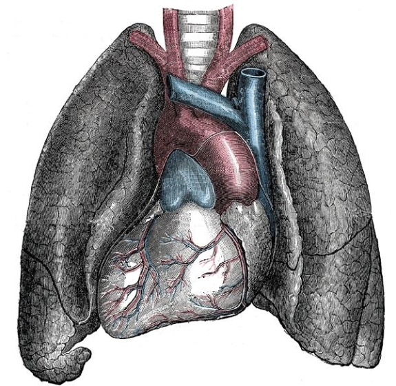 Situs_inversus_-_Mirrored_heart_and_lungs